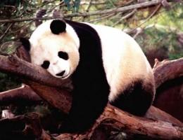 China visitando los osos Pandas