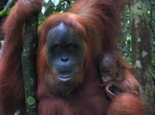 Aventura en Sumatra con orangutanes
