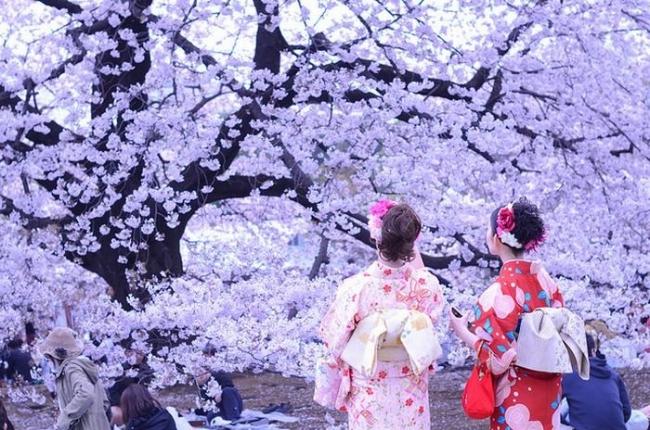 9 -Todo Japón y los cerezos en flor