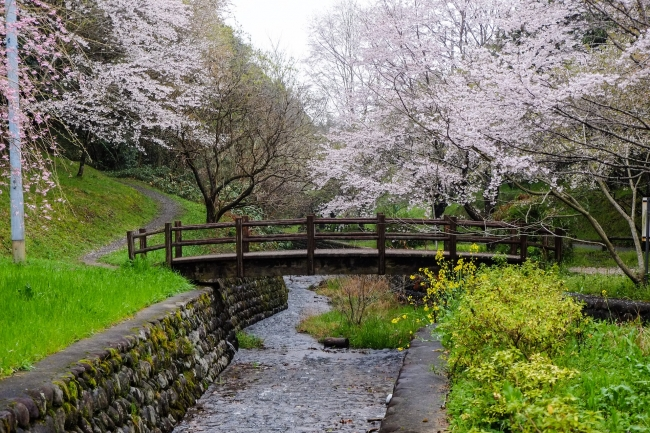 Cerezos en flor sobre puente