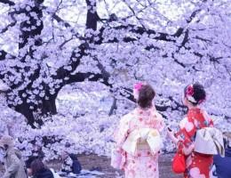 6 -Todo Japón y los cerezos en flor